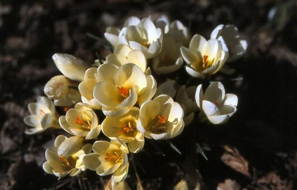 Name:  Crocus%20chrysanthus%20'Cream%20Beauty'.jpg Views: 2697 Size:  30.3 KB