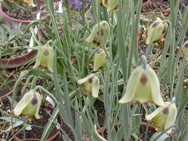 Name:  Fritillaria_acmopetala1_jmg.jpg Views: 1595 Size:  66.8 KB