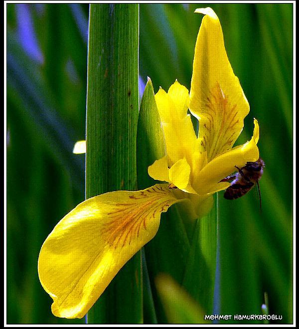 Name:  sarı süsen.jpg Views: 2816 Size:  63.8 KB