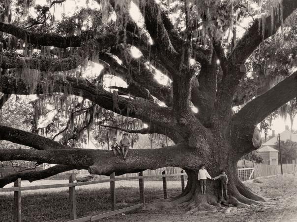 Name:  Oak Tree, Louisiana NGM.jpg Views: 2863 Size:  71.2 KB