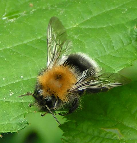 Name:  Bombus%20hypnorum%20-%20Baumhummel%2001.jpg