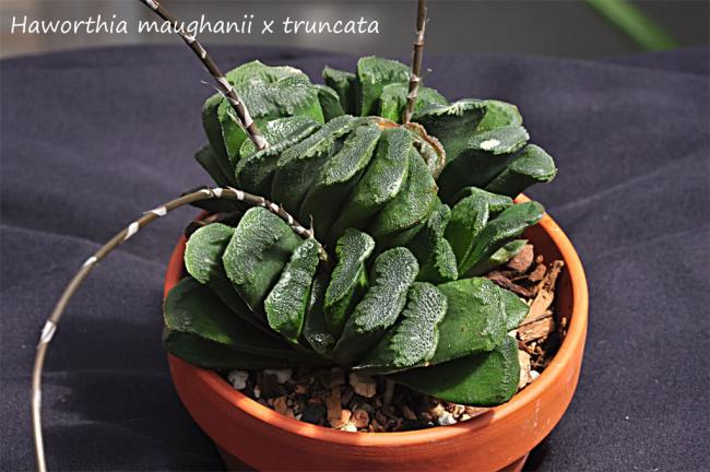 Name:  Haworthia - maughanii x turuncata.jpg
