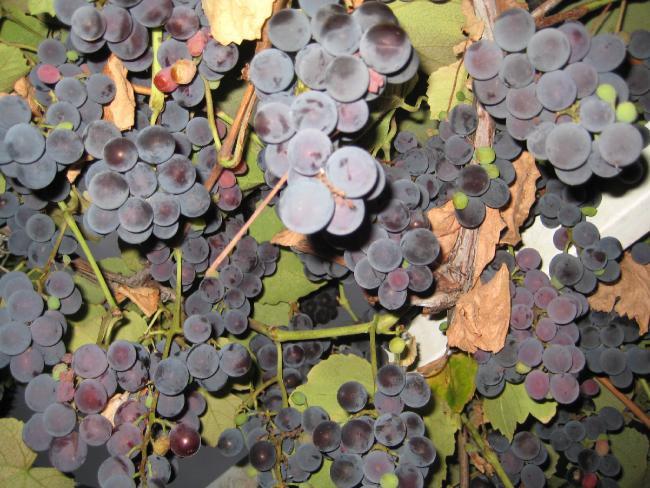 Üzüm bir yandan yaprak dökmesine rağmen hala üzerinde üzüm