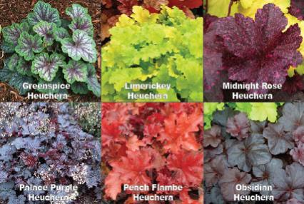Name:  heuchera.jpg