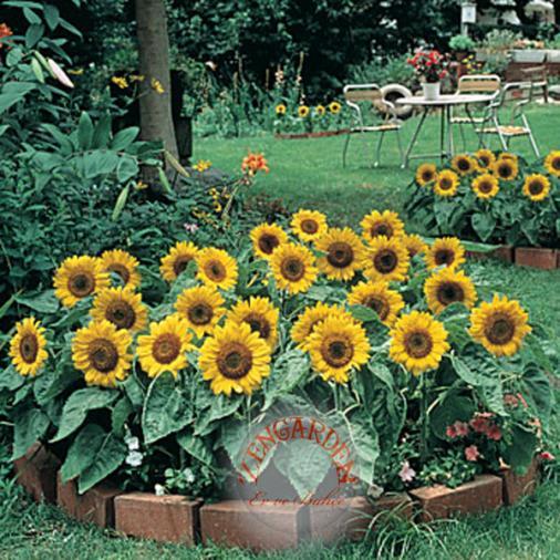 Name:  ayçiçeği.jpg Views: 6838 Size:  70.2 KB