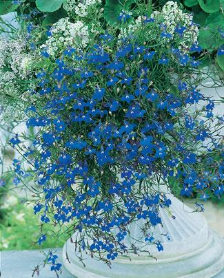 Name:  Lobelia Trailing Blue.jpg
