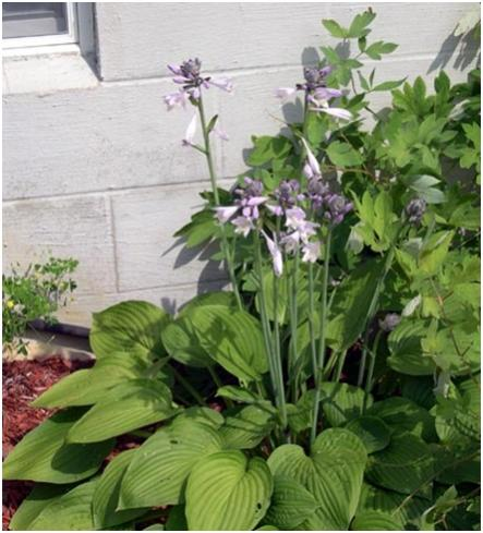 Name:  hosta2.jpg