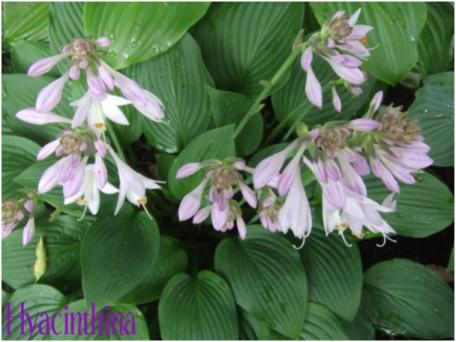 Name:  hosta3.jpg