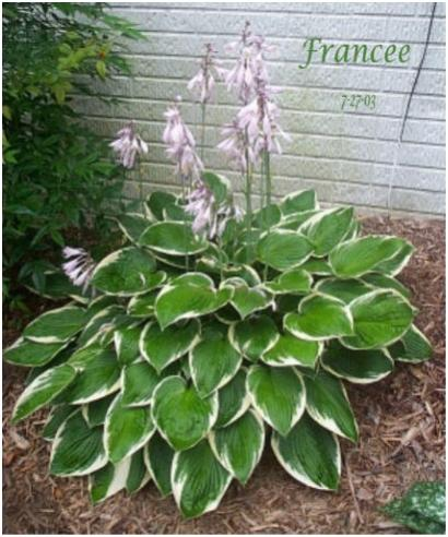 Name:  hosta fran1.jpg