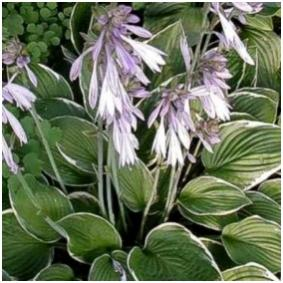 Name:  hosta fran2.jpg