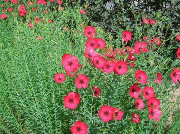 Name:  scarlet flax [800x600].jpg Views: 2064 Size:  72.1 KB