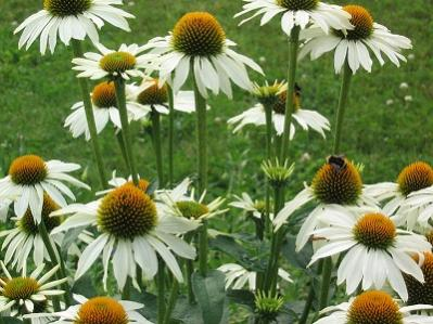 Name:  echinacea-purpurea-white-swan-m.jpg
