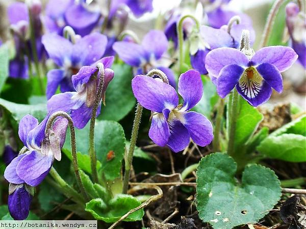 Name:  Viola odorata2.jpg