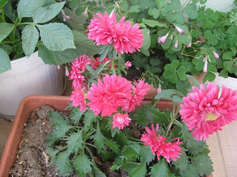 Name:  pembe aster.JPG