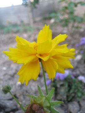 Name:  coreopsias grandiflora2.JPG