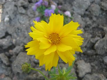 Name:  coreopsis grandiflora1.JPG