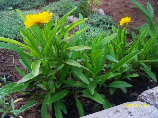 Name:  Coreopsis Grandiflora (Early Sunrise)2.jpg