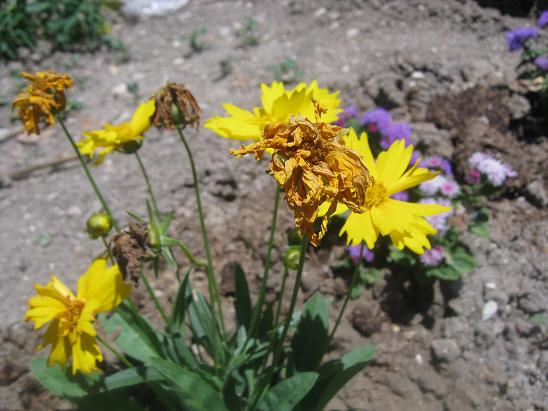 Name:  coreopsis grandiflora.JPG