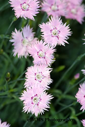 Name:  dianthus_baths_pink_4.jpg