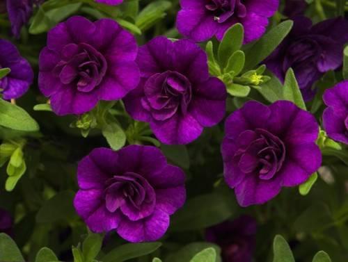 Name:  F_Calibrachoa_MiniFamousDoubleBlue.jpg Views: 5552 Size:  68.4 KB