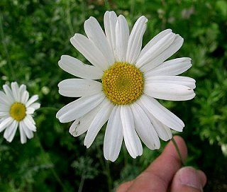 Name:  chrysanthemum_1.jpg
