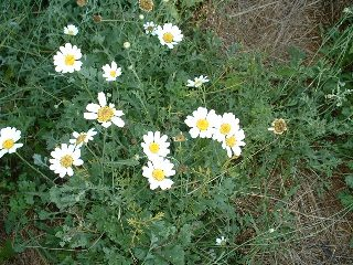Name:  chrysanthemum_2.jpg