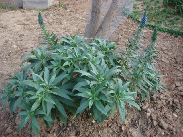 Name:  Echium candicans.jpg Views: 1301 Size:  70.9 KB
