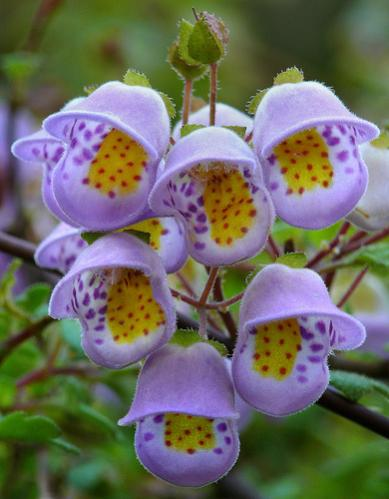 Name:  Jovellana violacea.jpg