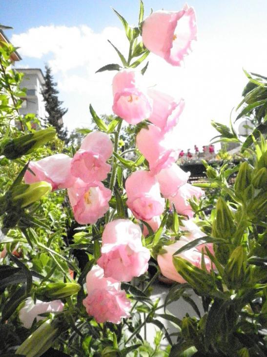 Name:  çan çiçeği.jpg Views: 2093 Size:  74.3 KB