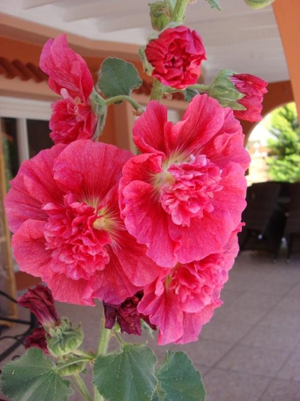 Name:  Double Alcea rosea flowers.jpg