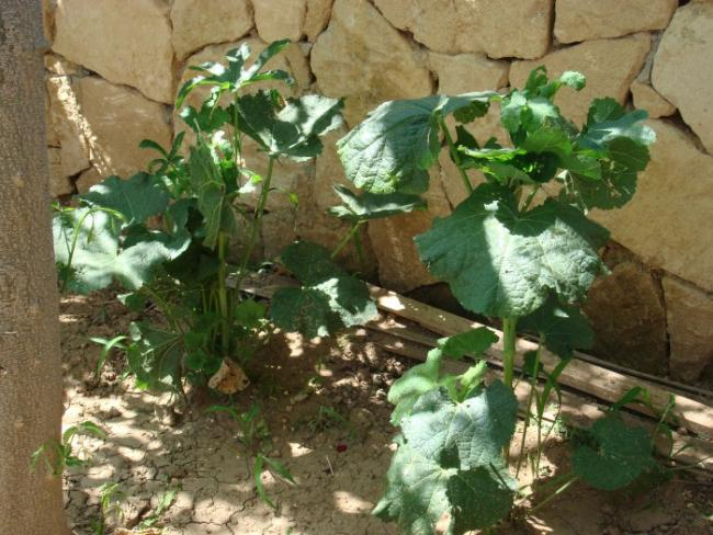 Name:  Double Alcea Rosea young plants.jpg Views: 2685 Size:  63.5 KB
