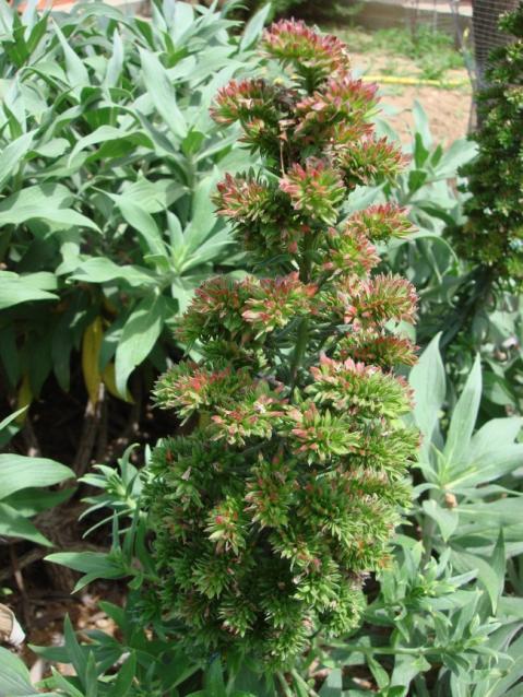Name:  Echium after flowering.jpg Views: 1186 Size:  71.5 KB