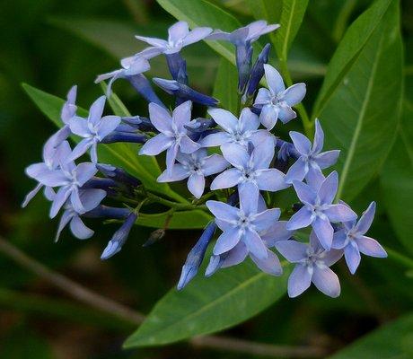 Name:  Amsonia-Blue-Dogbane.jpg Views: 2537 Size:  37.1 KB