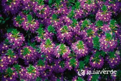 Name:  29062011121535_scaevola-aemula-138579.jpg Views: 2166 Size:  40.3 KB