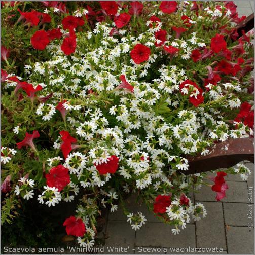 Name:  IMGP1454 Scaevola aemula 'Whirlwind White' - Scewola wachlarzowata.jpg Views: 1948 Size:  77.0 KB