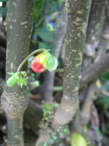 Name:  Impatiens niamniamensis[Papagan gagasi] 007.jpg