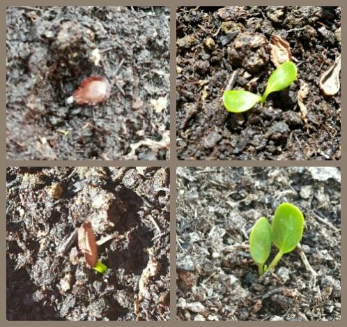 Name:  Asclepias tuberosa seed germination.jpg Views: 719 Size:  70.1 KB