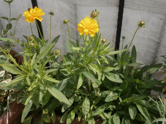 Name:  Coreopsis - Kızgözü 00.jpg