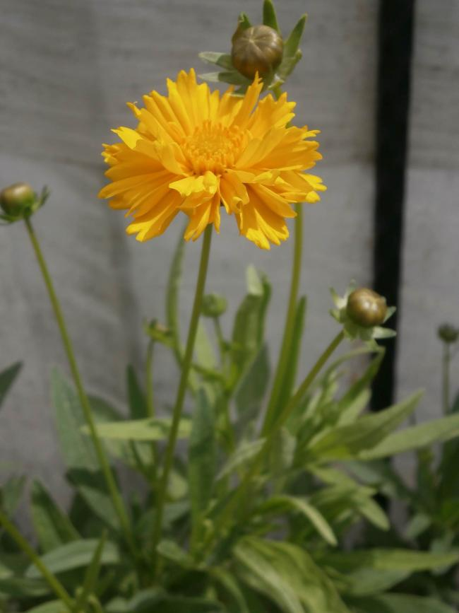 Name:  Coreopsis - Kızgözü 01.jpg