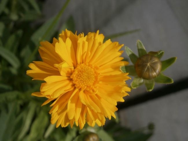 Name:  Coreopsis - Kızgözü 02.jpg
