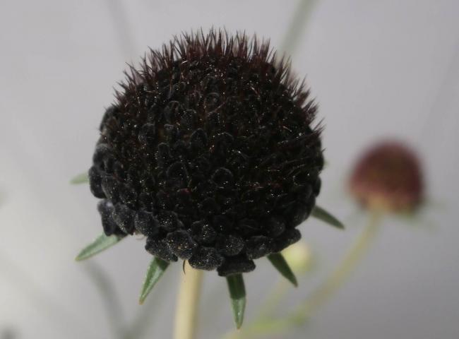 Name:  Scabiosa atropurpurea Uyuz Otu 8.jpg Views: 1656 Size:  23.9 KB