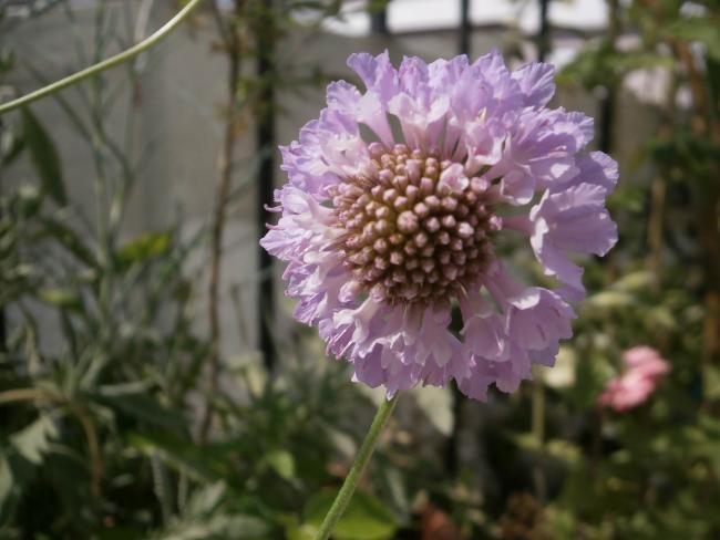 Name:  Scabiosa atropurpurea - Uyuz Otu 13.jpg Views: 2127 Size:  38.5 KB