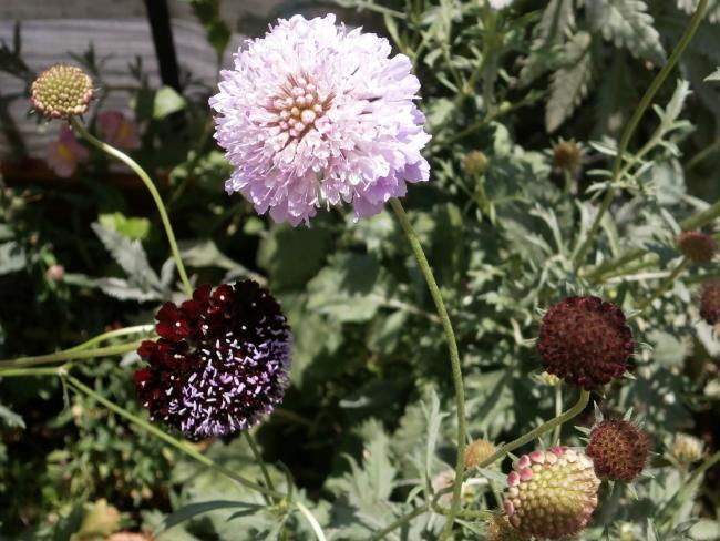 Name:  Scabiosa atropurpurea - Uyuz Otu 14.jpg Views: 1741 Size:  59.9 KB