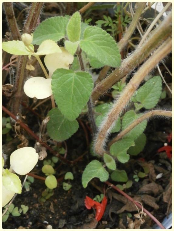 Name:  Salvia coccinea - Kırmızı Adaçayı 01.jpg Views: 970 Size:  64.5 KB