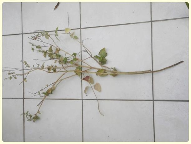 Name:  Salvia coccinea - Kırmızı Adaçayı 02.jpg Views: 933 Size:  25.7 KB