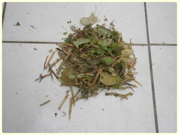 Name:  Salvia coccinea - Kırmızı Adaçayı 03.jpg Views: 1040 Size:  30.2 KB