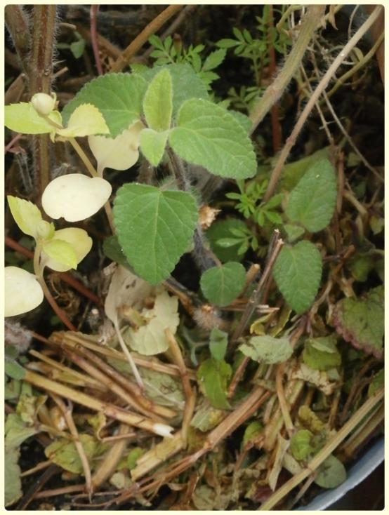 Name:  Salvia coccinea - Kırmızı Adaçayı 05.jpg Views: 1018 Size:  66.0 KB