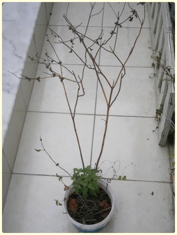 Name:  Salvia coccinea - Kırmızı Adaçayı.jpg Views: 888 Size:  52.8 KB