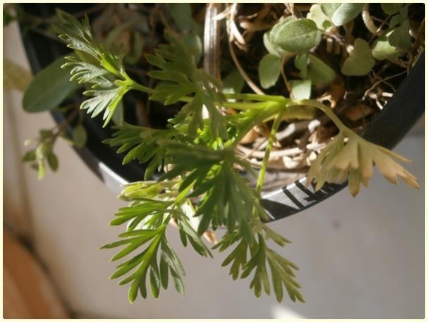 Name:  Hezaren, Delfinyum Çiçeği (Delphinium).jpg Views: 768 Size:  39.0 KB