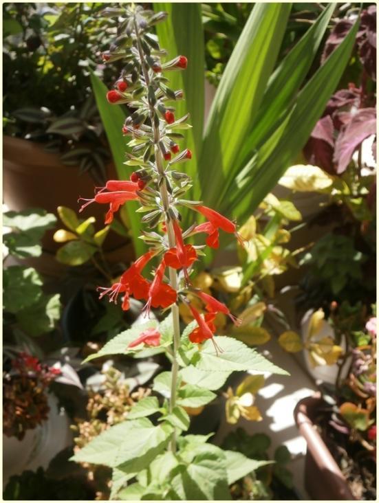 Name:  Kırmızı Adaçayı Çiçeği (Salvia coccinea) 2016 Çiçeklendik.jpg Views: 882 Size:  66.9 KB